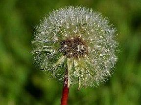 dandelionseeds_edited-1.jpg
