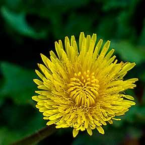 dandelion_flower_02