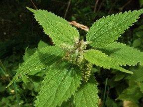Nettleinflower.jpg