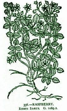 Raspberrywoodcut216