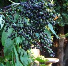 unripeelderberry