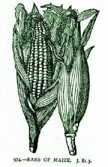 Corn007