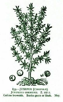 Juniperwoodcut