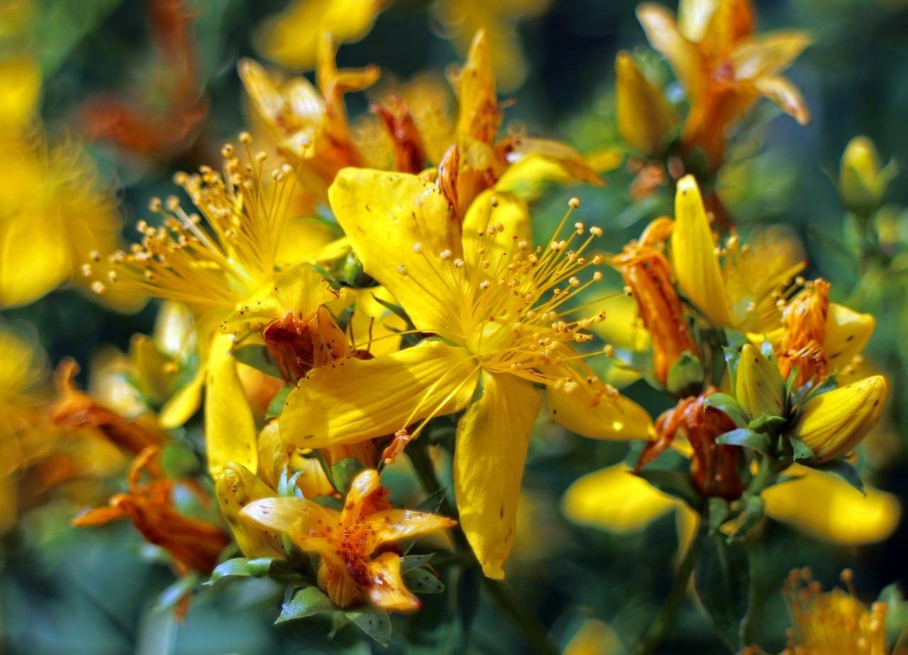 Saint John's Wort Flower