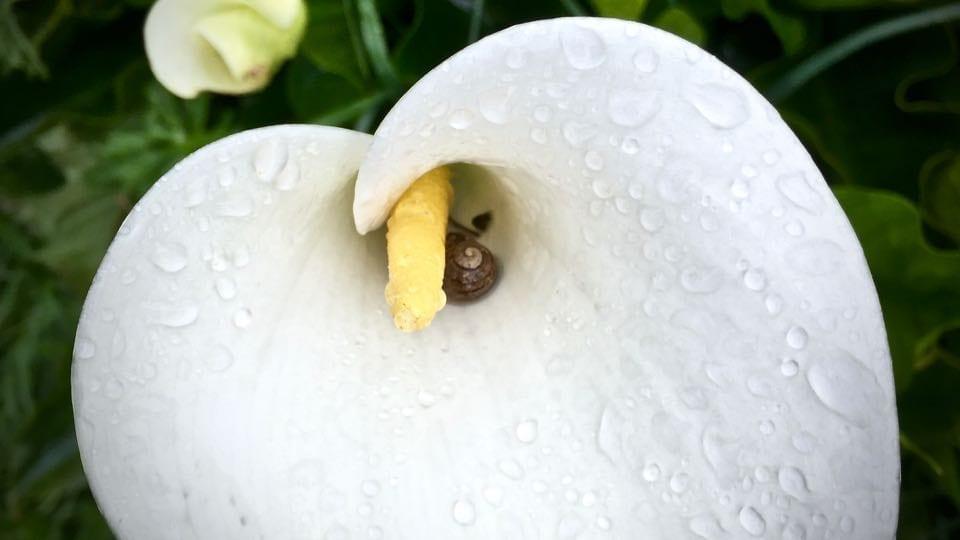 Calla Lily: The Beauty Of Balance