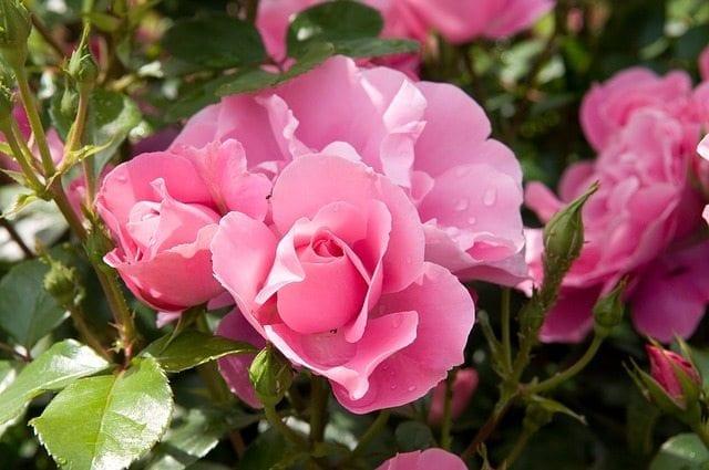 Show 44: The Versatile Rose – Real Herbalism Radio