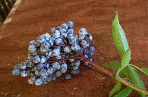 Elderberry History, Folklore, Myth And Magic