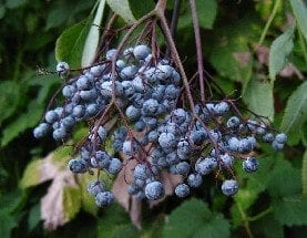 Elderberry: The Flu Fighter