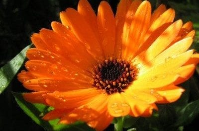 Calendula History, Folklore, Myth and Magic