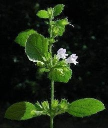Lemon Balm Smiles – The Shoestring Herbalist