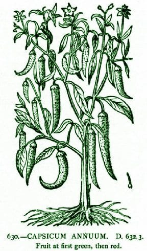 Cayenne – Pocket Herbal