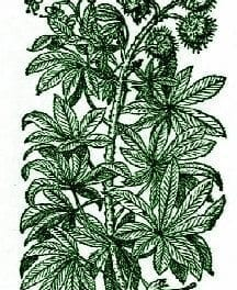 Horse Chestnut – Pocket Herbal