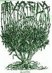 Lavenderwoodcut