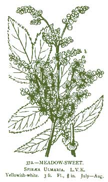 Meadowsweet – Pocket Herbal