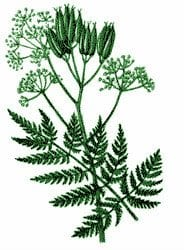 Sweet Cicely – Pocket Herbal