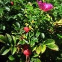 Harvest Your Own Rose Hips: Tips And Tricks For Perfect Hips