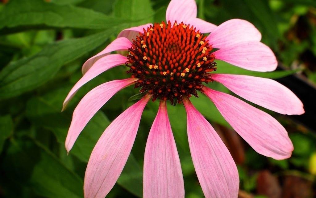 Immune-Boost Tea Blend with Echinacea