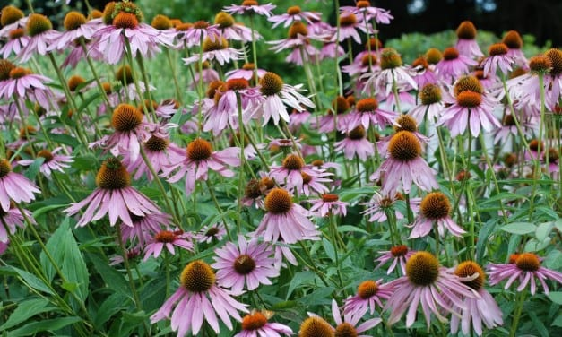 Immune-Boost Supplement Blend with Echinacea