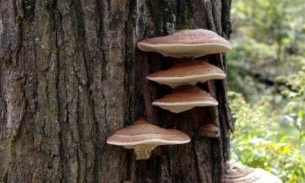 Awakening the Mushroom Brain – The Shoestring Herbalist
