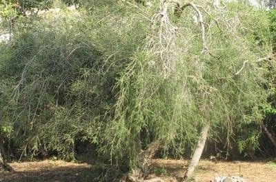 Tea Tree: Herb of the Shaman