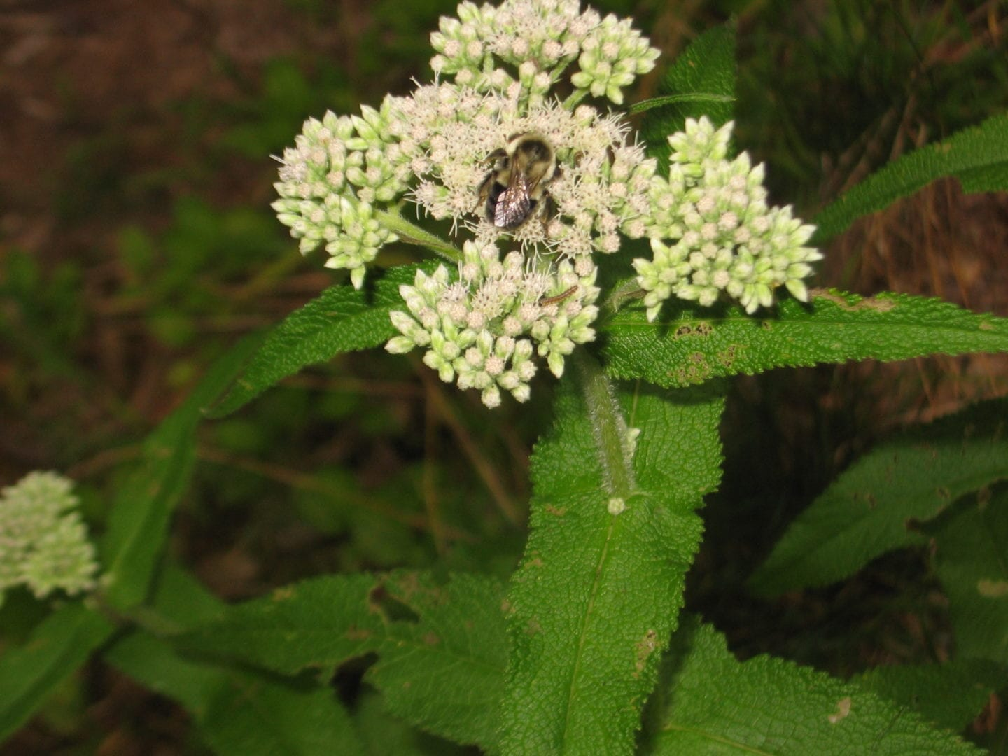 Eupatorium Perfoliatum With Bee And Caterpillar