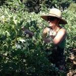 blue berry harvesting