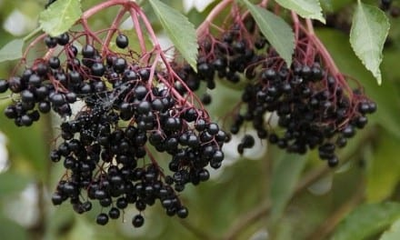 3.Protecting Boundaries with Elderberry and Flower