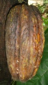 cocoa-fruit-72862_1280