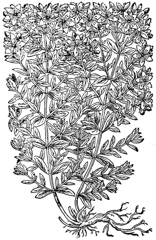 Stjohnswort Woodcut