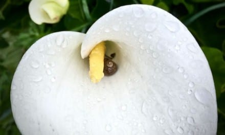 Calla Lily: The Beauty of Balance