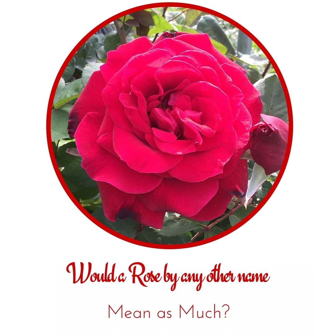 Red Rose Symbolism Choice Image - meaning of text symbols