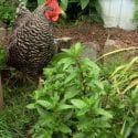 The Chicken Friendly Herb Garden