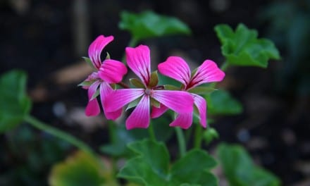 Rose Geranium Essential Oil Properties and Uses