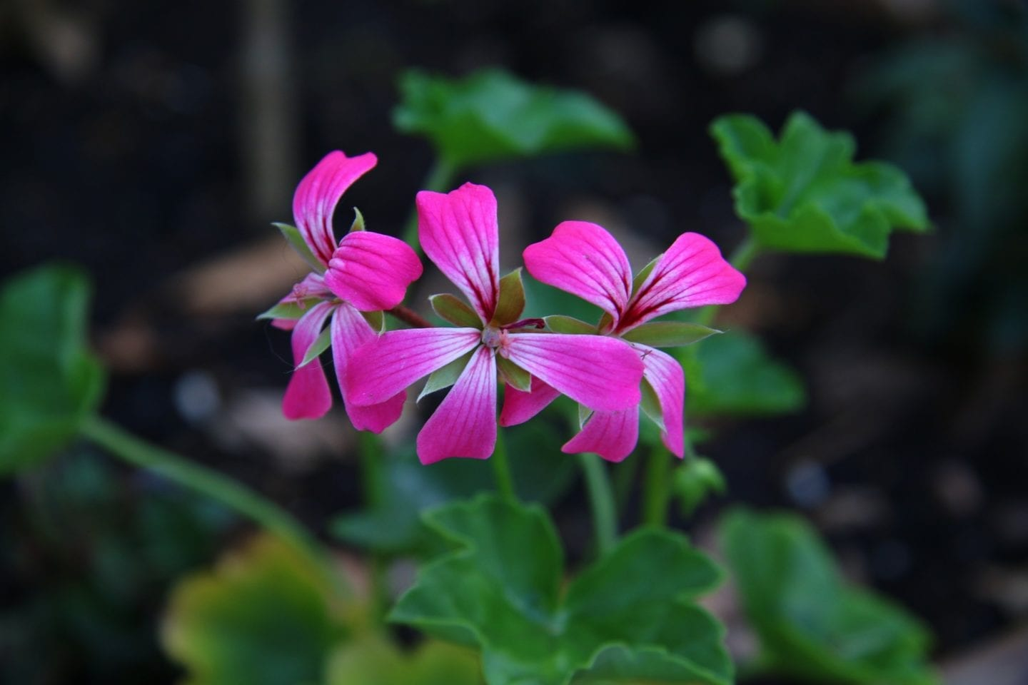 Rose Geranium Essential Oil Properties And Uses