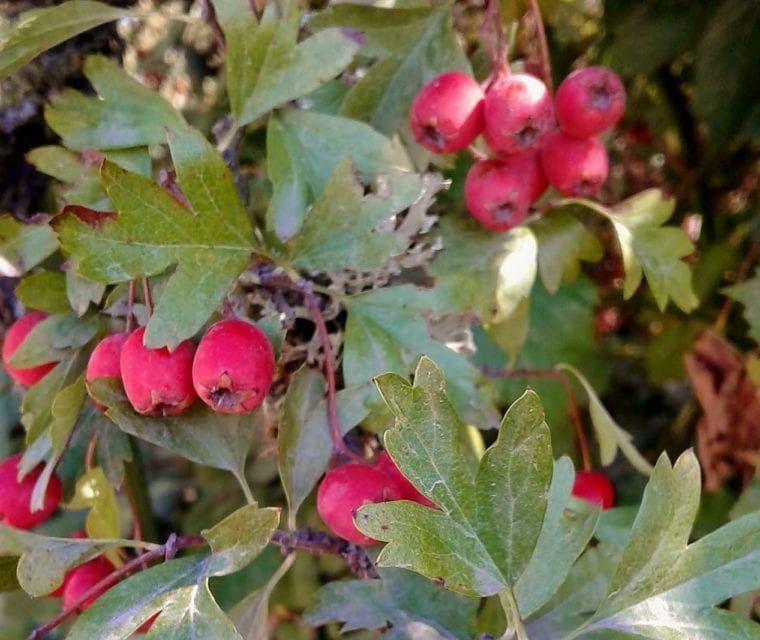 Hawthorn Syrup Recipe