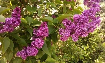 Lilac: An Edible and Medicinal Treat