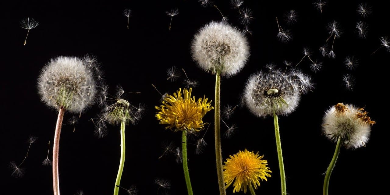 Hepatitis Bowed to Dandelion: A Clinical Memoir