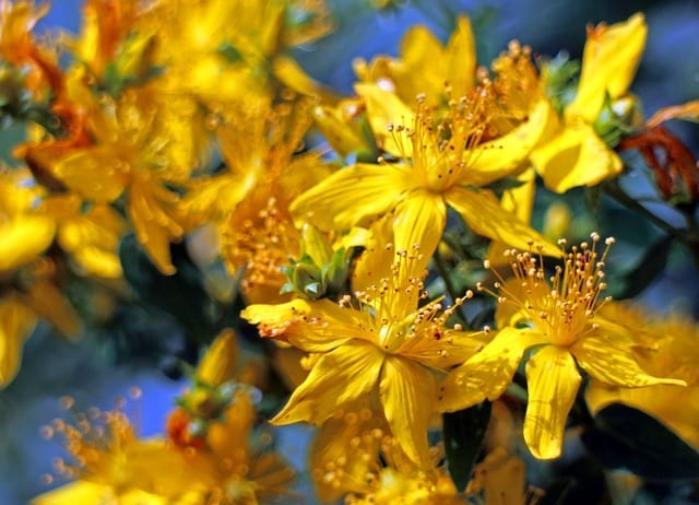 Saint John's Wort for Sciatica and Pain: A Clinical Memoir