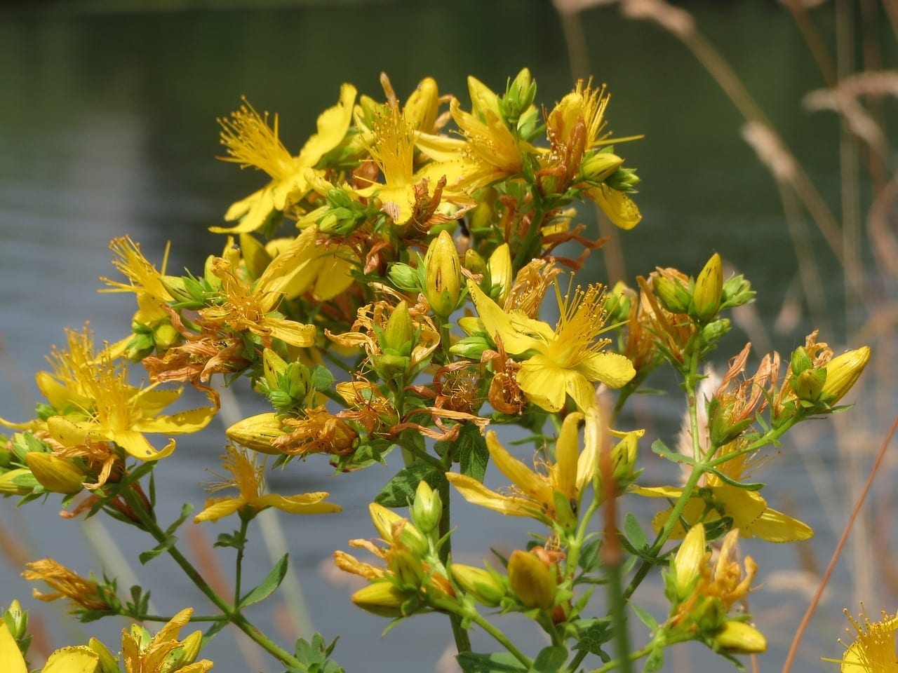 Saint John's Wort: Energetic Properties And Uses