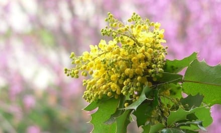 Oregon Grape for Toothaches: A Clinical Memoir
