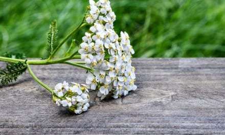 Yarrow Energetic Properties and Uses