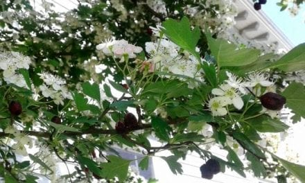 Hawthorn Calms Blood Pressure: A Clinical Memory