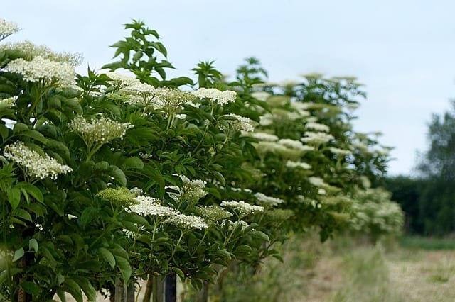 Elderberries…Blessing from Elder and a Mighty Tasty Mead
