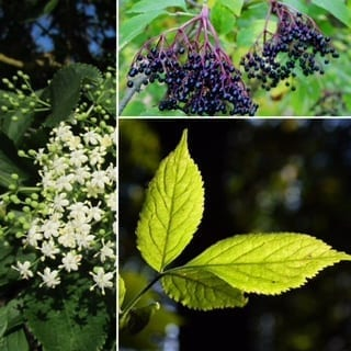 Elderberries, Elderflowers, Elder Leaf
