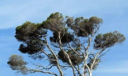 Tea Tree Energetics and Uses