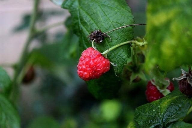 Raspberry Fruit And Leaf