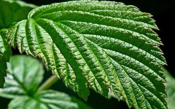 Tannins in Raspberry Leaf – How It Works