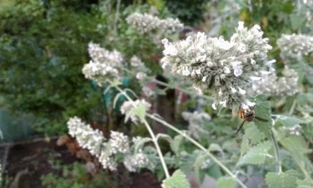 Sustainable Herb Gardening – Shoestring Herbalist