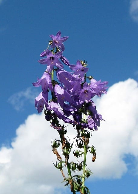 Lobeline In Lobelia – How It Works