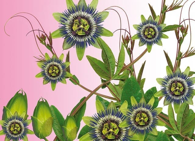 Passionflower Energetics and Uses
